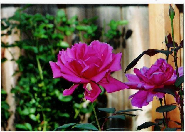 Oregon roses in Medford