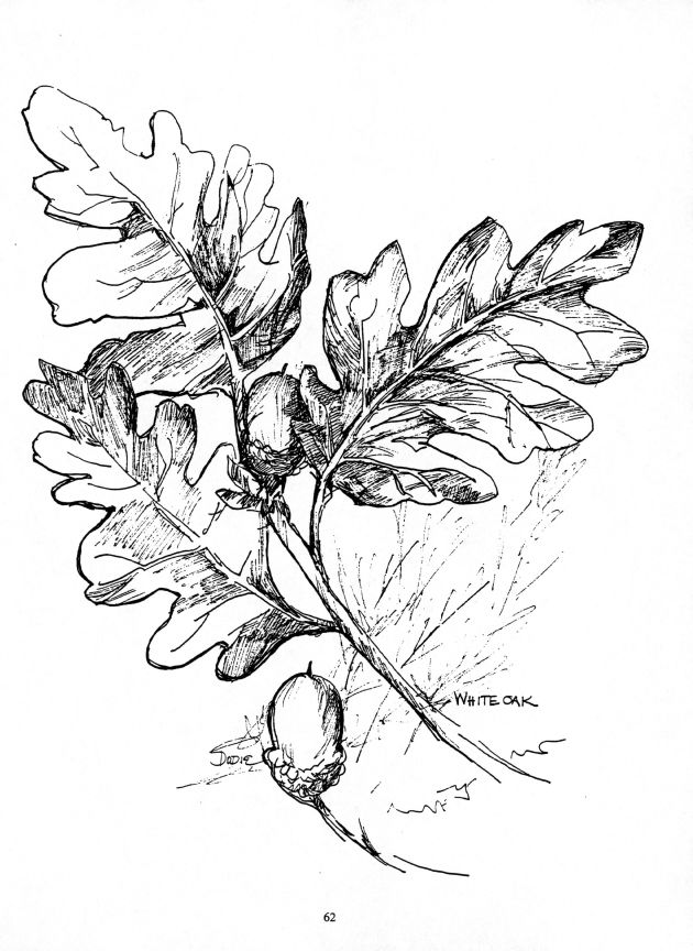 Drawing of White Oak by Dodie Hamilton